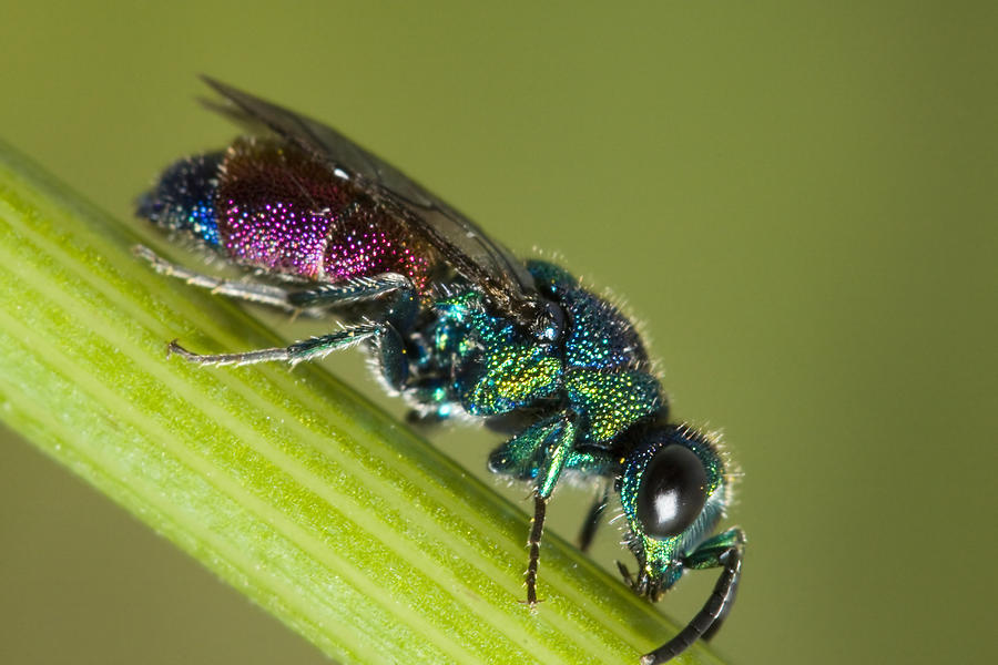 Wasp Photograph - Chrysidid Wasp by Andre Goncalves