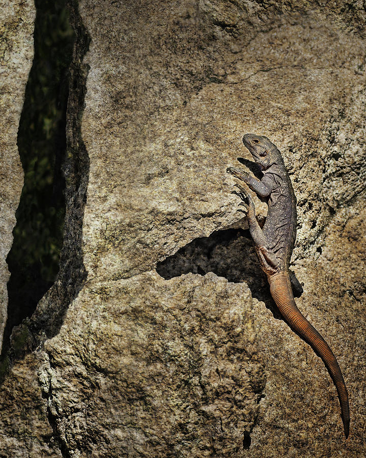 Lizard Photograph - Chuckwalla - Crevice by Nikolyn McDonald