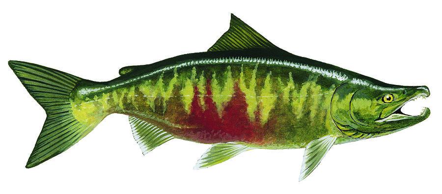 Salmon Painting - Chum Salmon by Shari Erickson