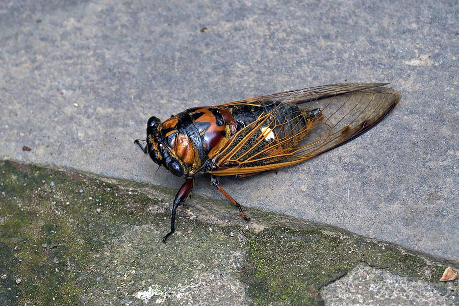 Cicada Photograph
