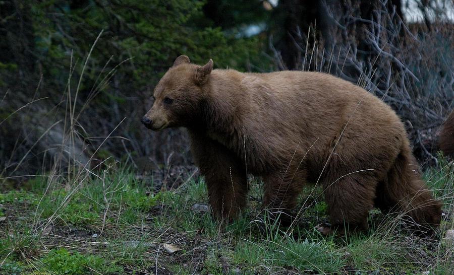 Cinnamon Bear Photograph - Cinnamon Bear by Clinton Nelson