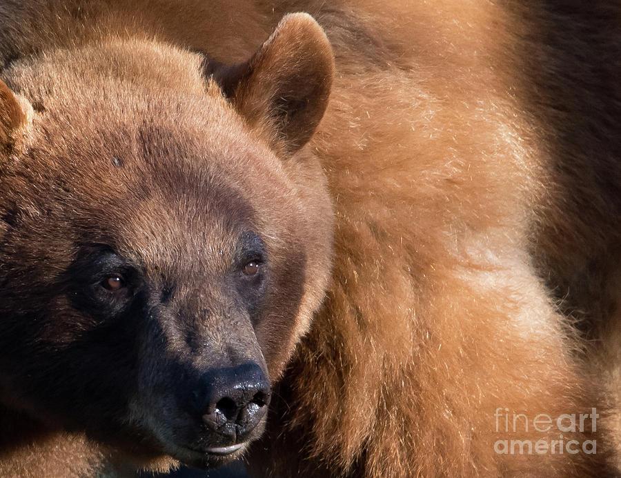 Cinnamon Black Bear by Brad Schwarm