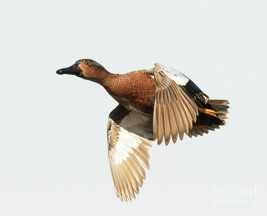 Duck Photograph - Cinnamon Teal On The Wing by Dennis Hammer