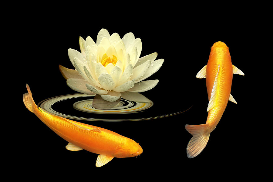 Circle Of Life - Koi Carp With Water Lily by Gill Billington