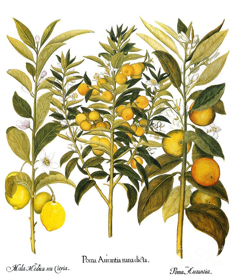 Basilius Photograph - Citron And Orange, 1613 by Granger