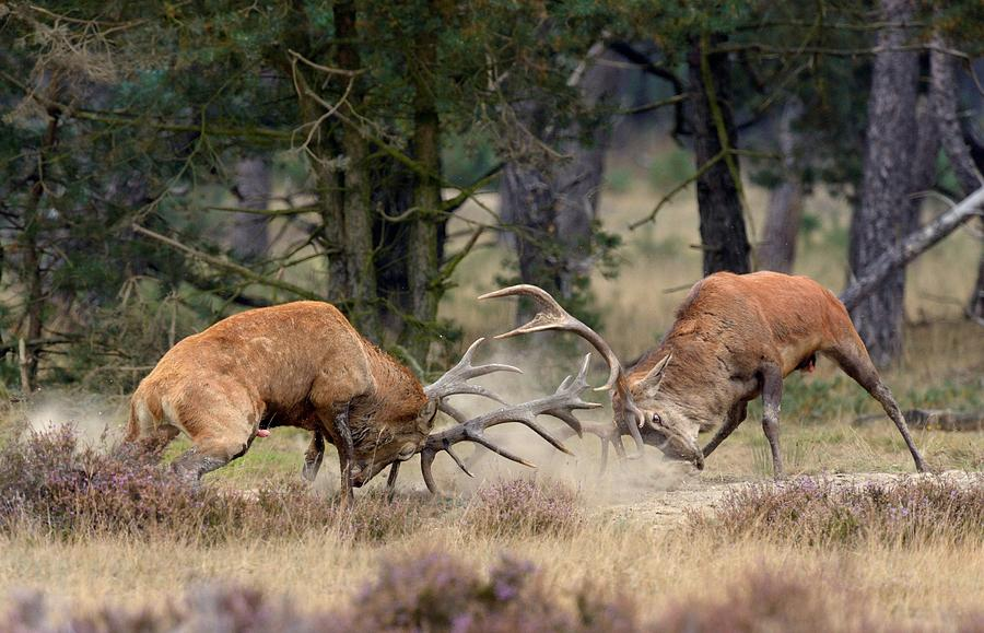 Western Photograph - Clash Of The Titans by Roelof Janssens