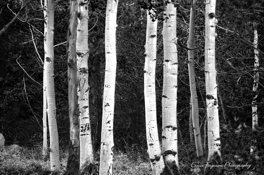 Landscape Photograph - Classic B And W  Colorado Aspens No  0034 by Ernie Ferguson