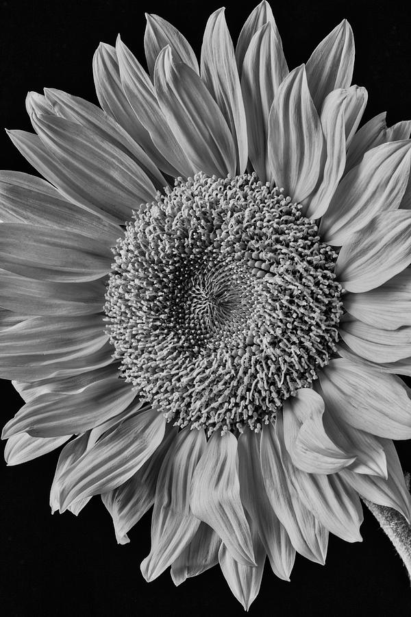 Mood Photograph - Classic Black And White Sunflower by Garry Gay