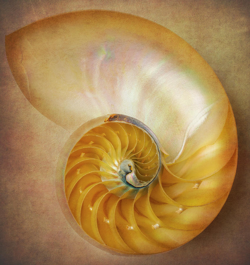 Earthy Photograph - Classic Nautilus Shell  by Garry Gay