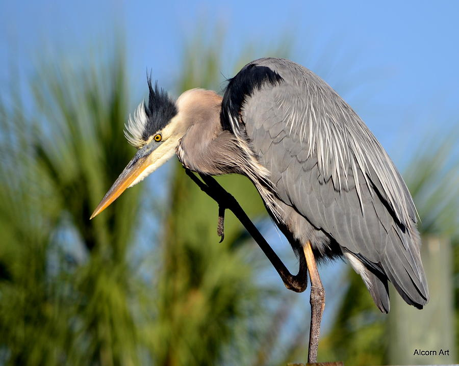 Blue Heron Photograph - Cleaning Up by Brenda Alcorn