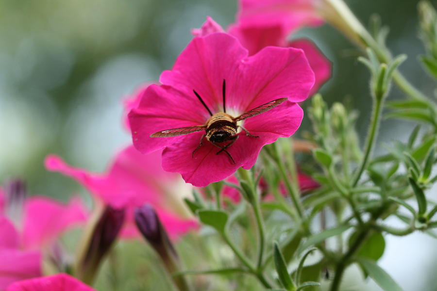 Insect Photograph - Clearwing Hummingbird Moth At Work In Patch Of Petunias by Bonnie Boden