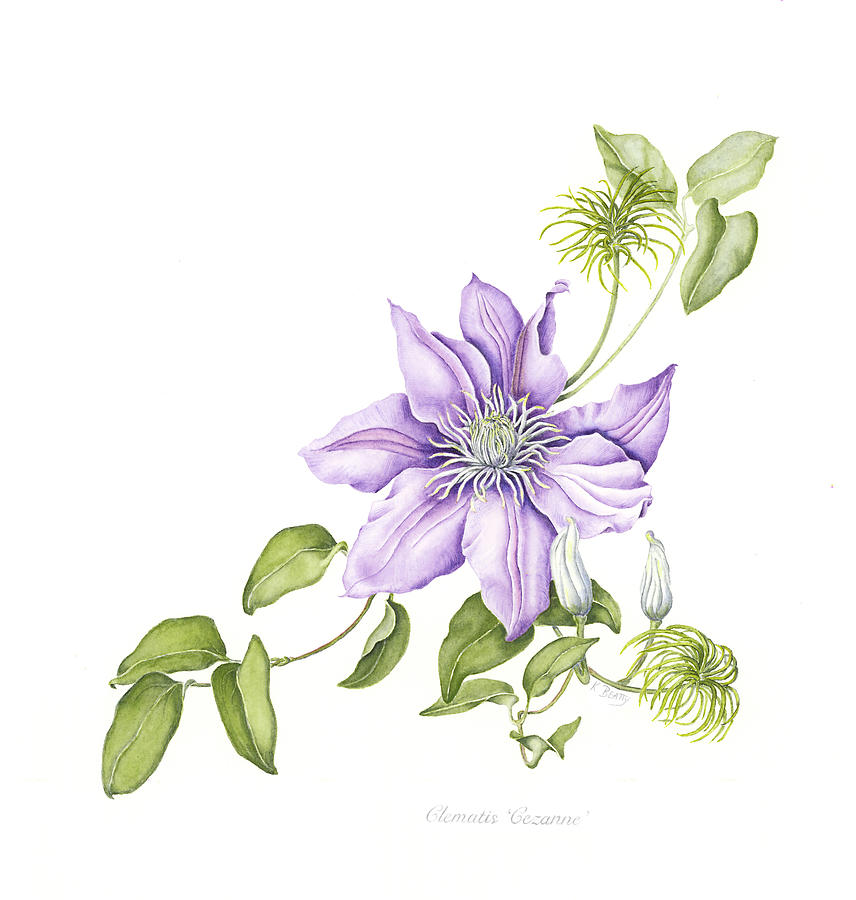 Watercolors Painting - Clematis Cezanne by Karla Beatty