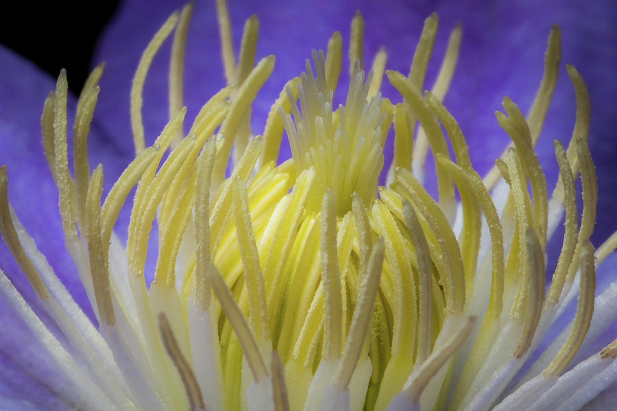 Clematis Closeup by Ron Pate