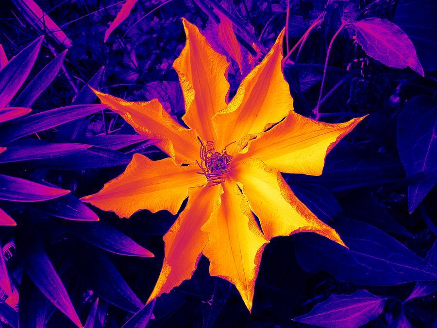 Digital Design Photograph - Clematis Gold by Art Speakman