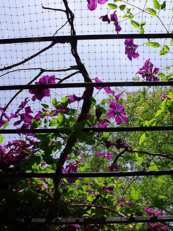 Purple Photograph - Clematis I by Anna Villarreal Garbis