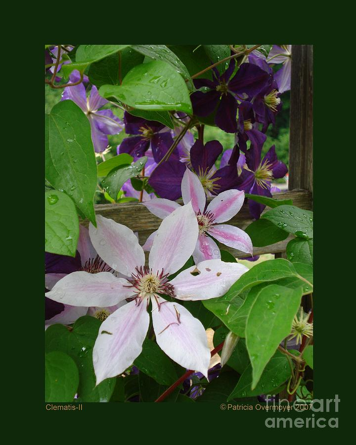 Clematis-II by Patricia Overmoyer