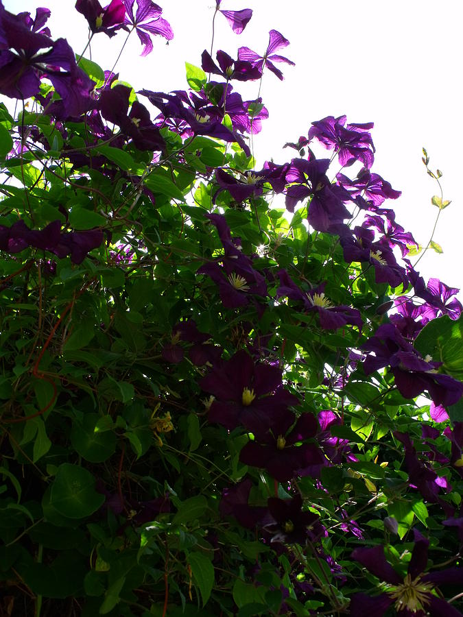 Purple Photograph - Clematis IIi by Anna Villarreal Garbis
