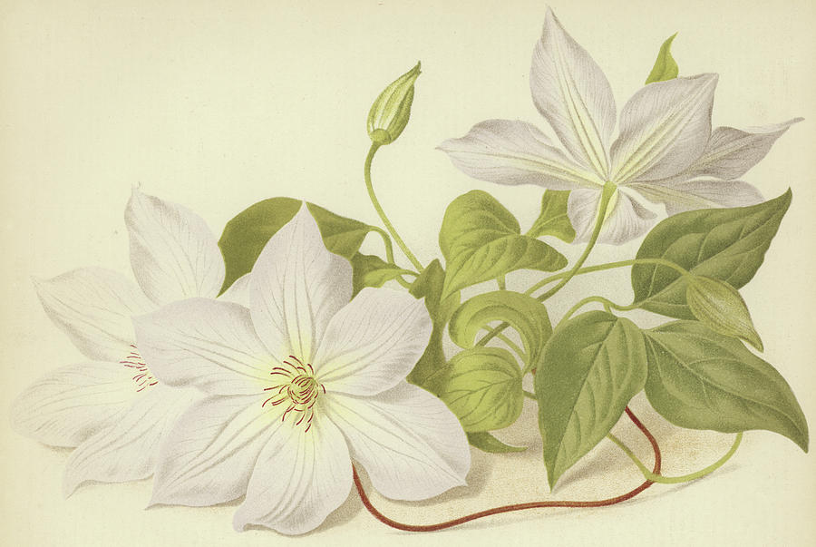 Clematis Painting - Clematis Jackmanni Alba by English School