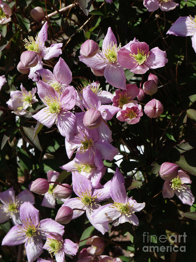 Clematis Montana  in full bloom by Brenda Kean