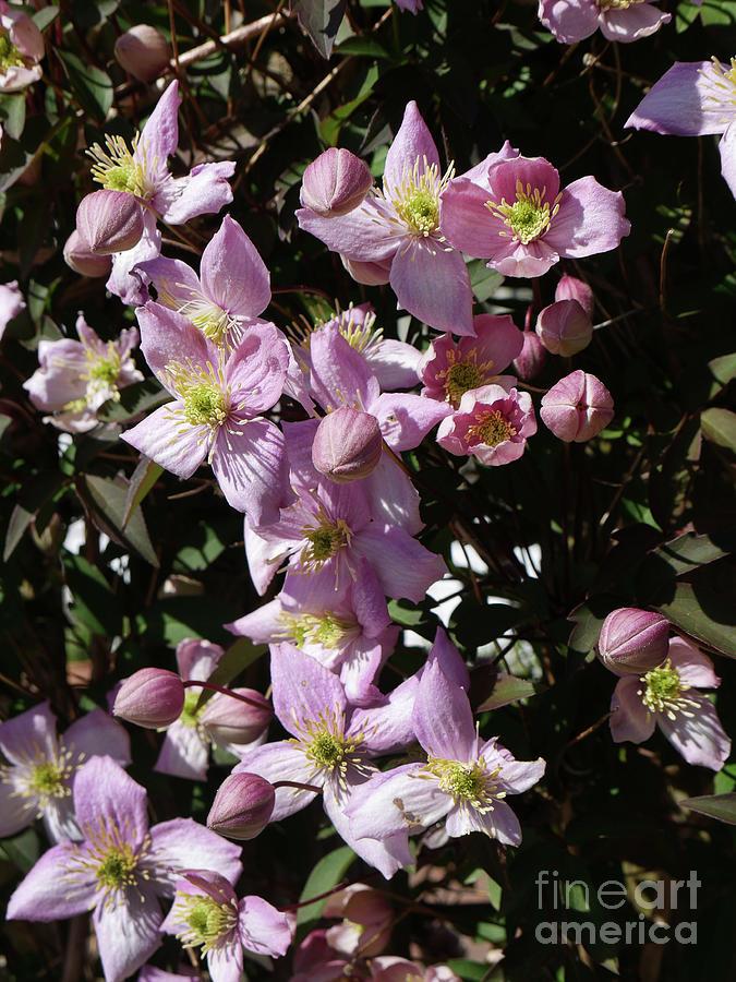 Clematis Montana  in full bloom by Brenda Kean