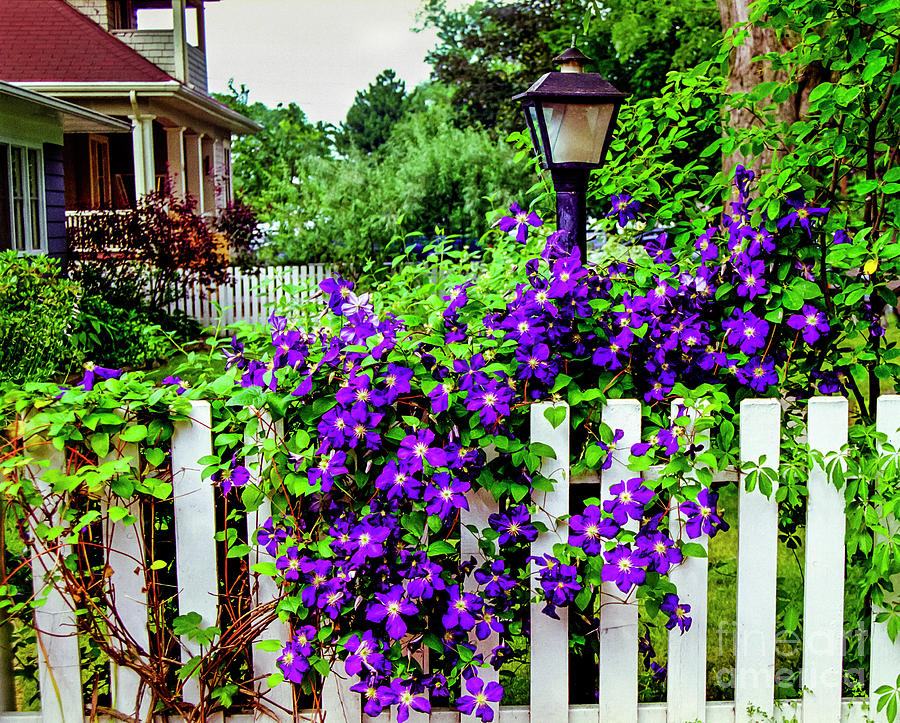 Clematis on White Picket Fence by Tom Brickhouse