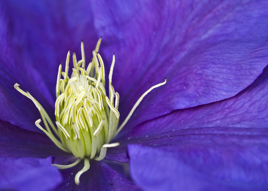 Clematis Photograph - Clematis by Svetlana Sewell