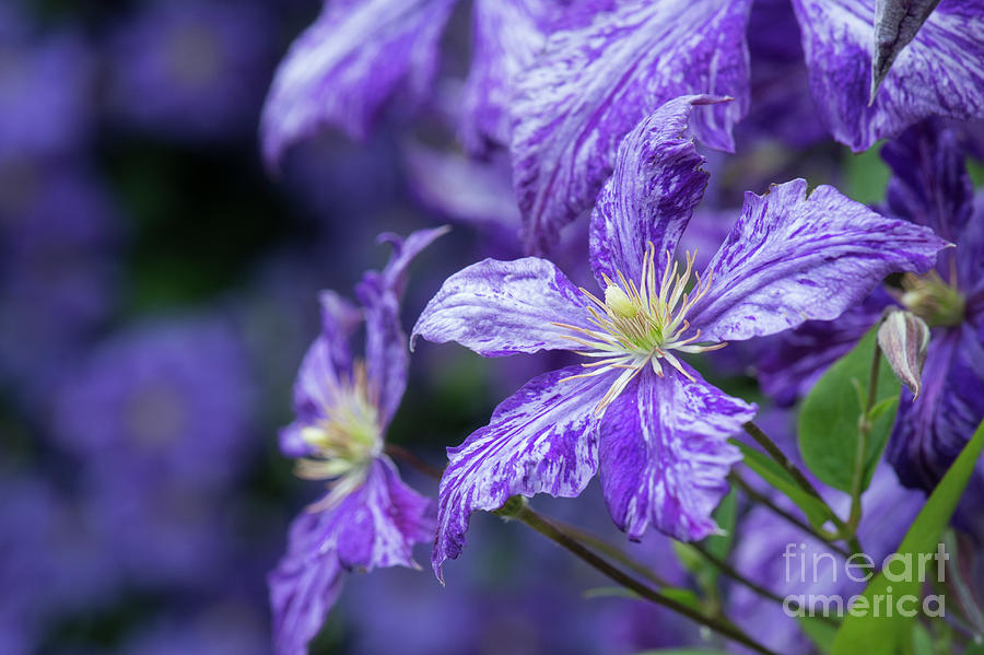 Flower Photograph - Clematis Tie Dye by Tim Gainey