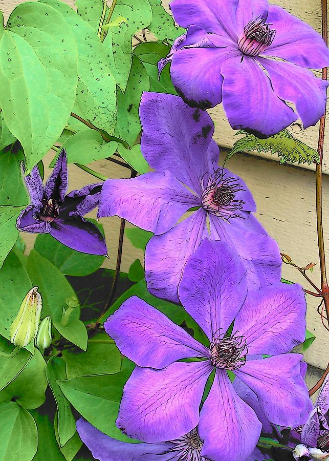 Clematis Photograph - Clematis Trail by Vijay Sharon Govender