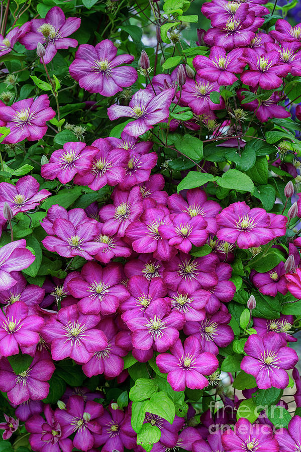 Flower Photograph - Clematis Ville De Lyon by Tim Gainey