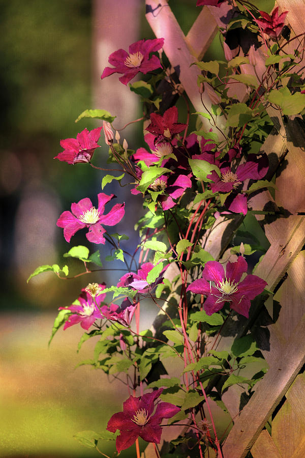 Clematis With Dappled Sunlight Photograph
