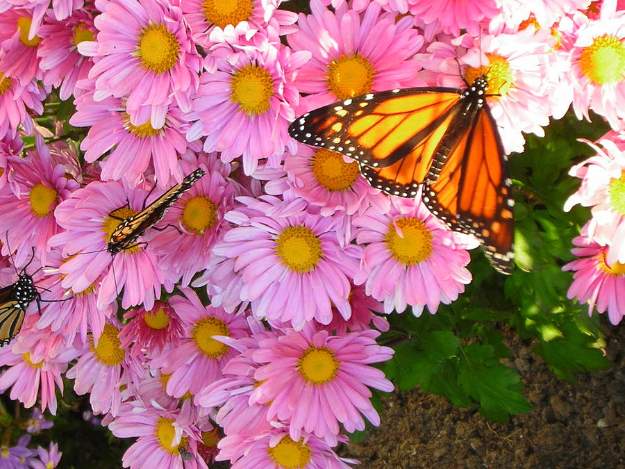 Butterfly Photograph - Cliff House Butterflies by Heather Weikel