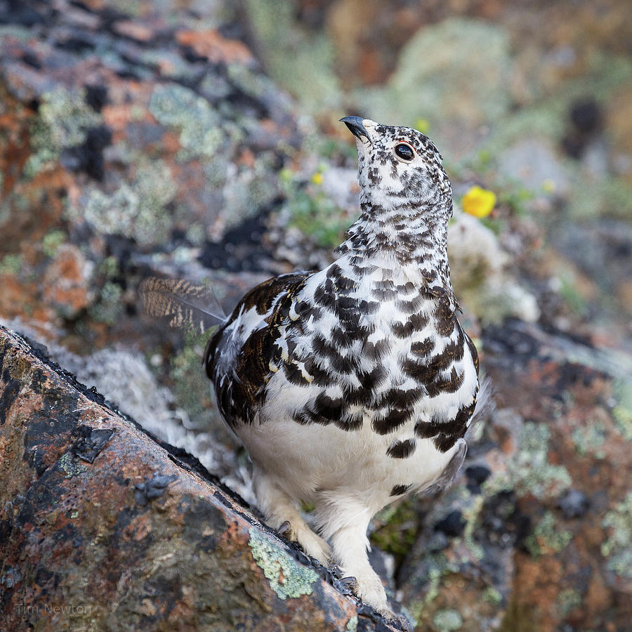 Ptarmigan Photograph - Cliffside Showoff by Tim Newton