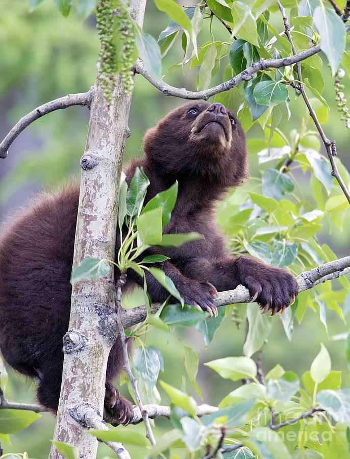 Climbing Cub by Shannon Carson