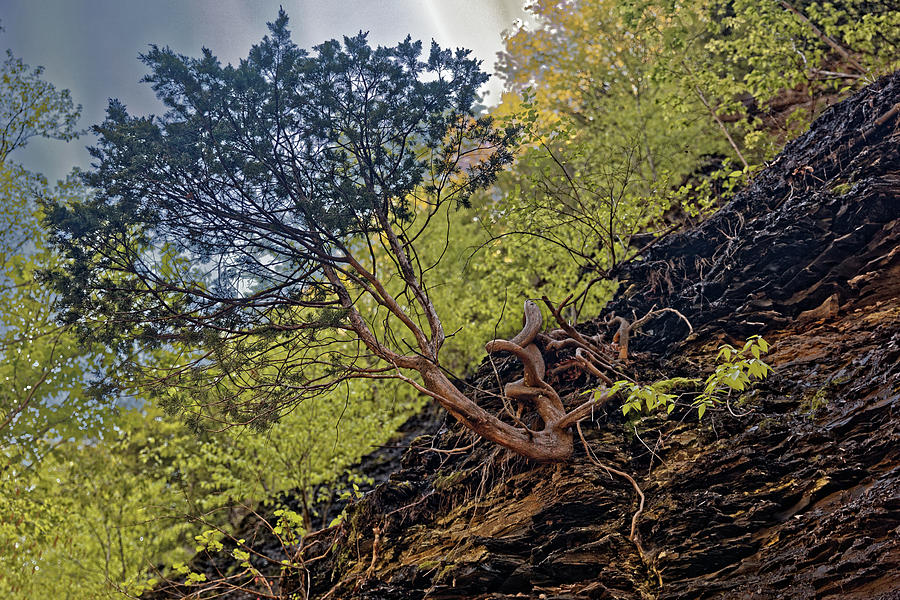 Awesome Tree Photograph - Climbing Tree Roots by Doolittle Photography and Art