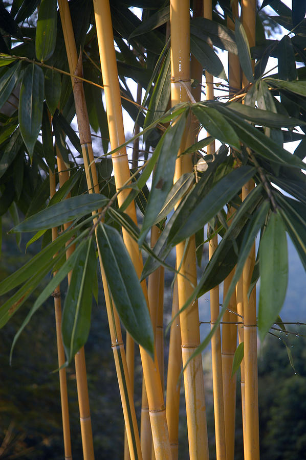 Close Detail Of Bamboo Plants Photograph By Anne Keiser