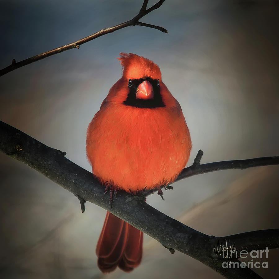 Cardinal Photograph - Close Encounter On A Blustery Day by Lois Bryan