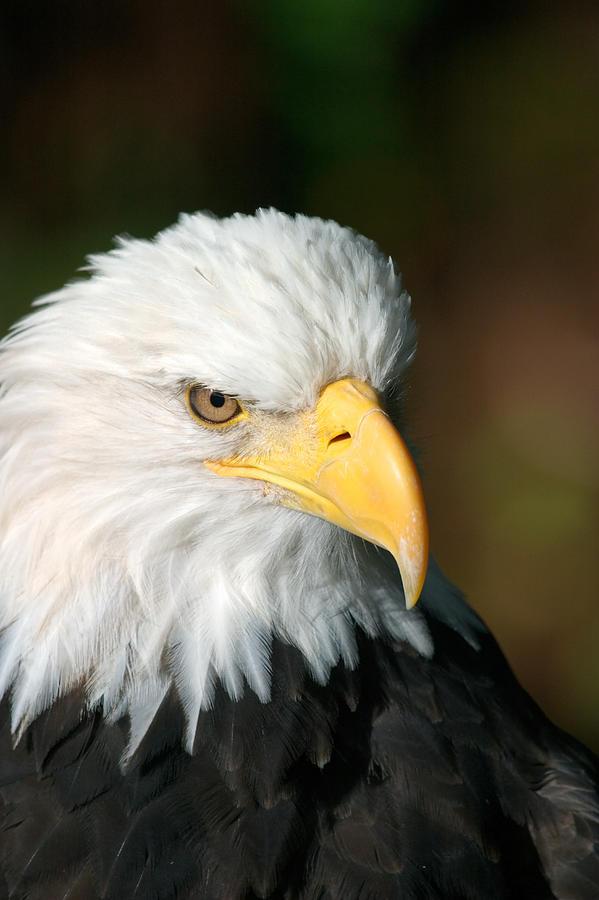 Bird Photograph - Close Portrait Of A Bald Eagle by Ralph Lee Hopkins
