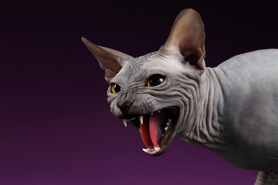 Sphynx Photograph - Close-up Aggressive Sphynx Cat Hisses on purple by Sergey Taran