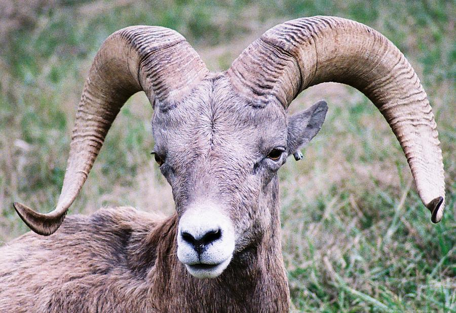 Big Horn Sheep Photograph - Close Up Big Horn Sheep by Frank Larkin