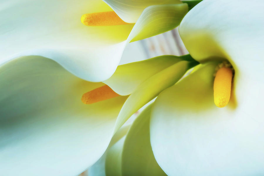 Graphic Photograph - Close Up Calla Lilies by Garry Gay