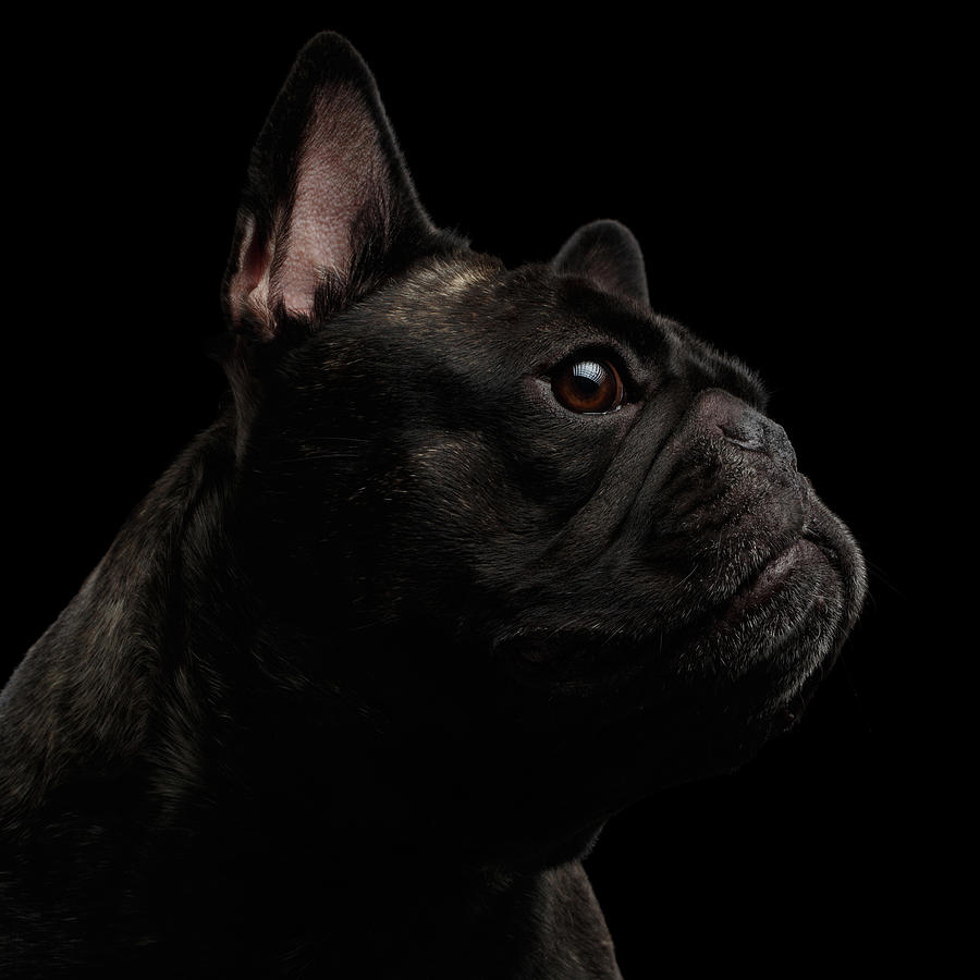 Dog Photograph - Close-up French Bulldog Dog like Monster in Profile view Isolated by Sergey Taran