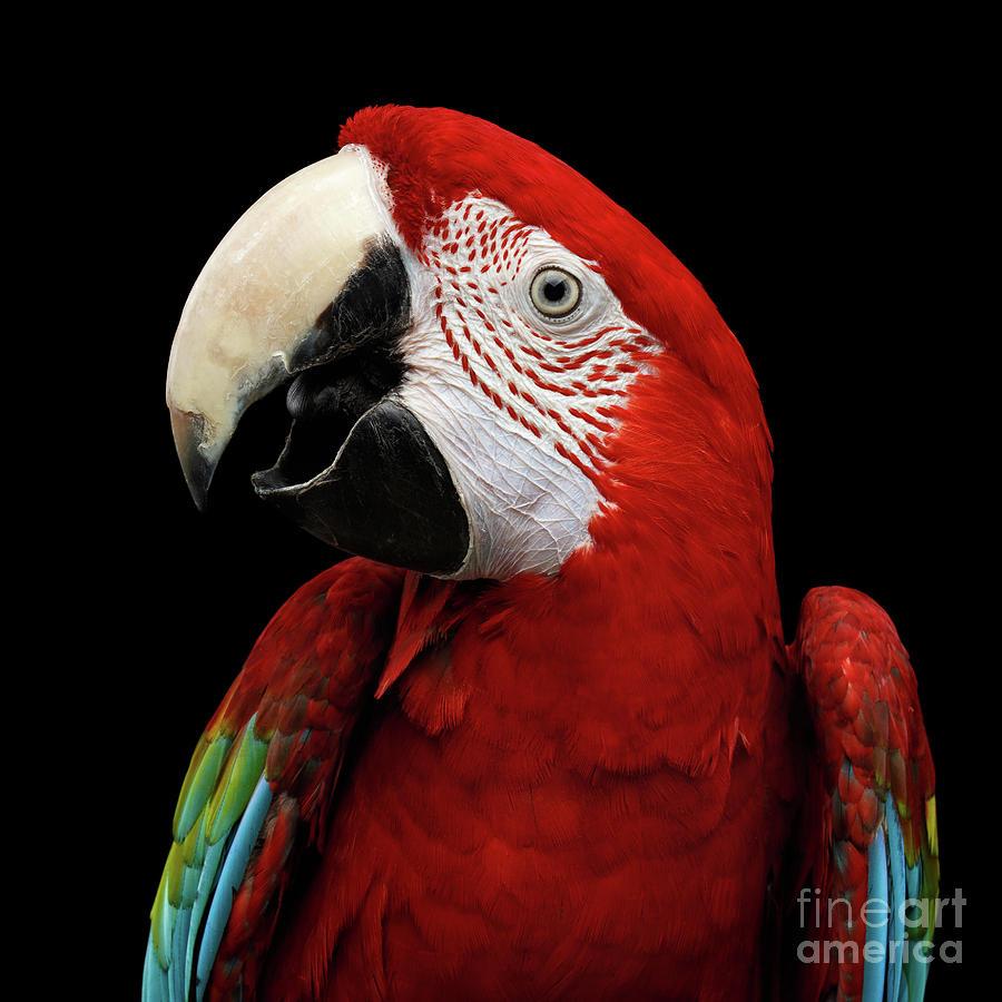 Macaw Photograph - Green-winged macaw by Sergey Taran