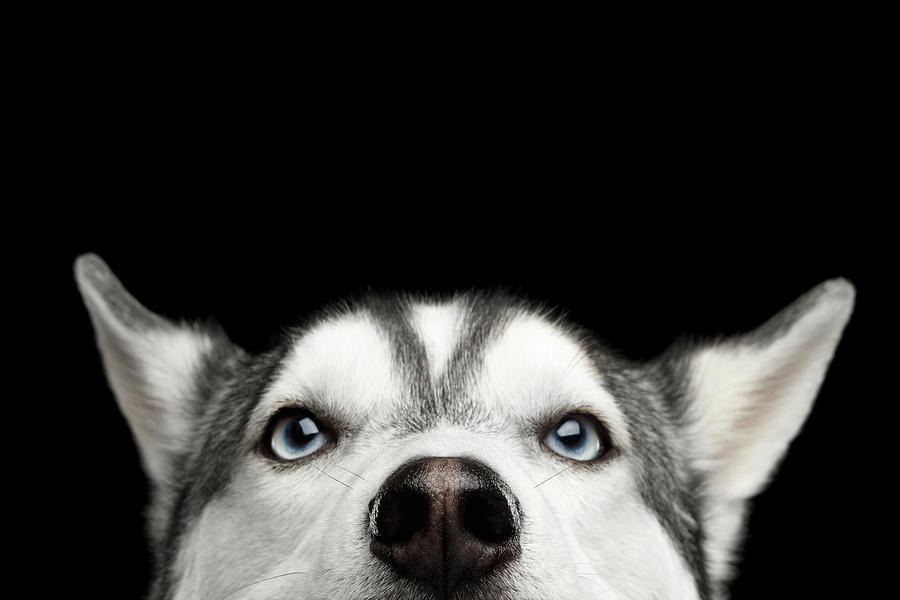Close-up Head of peeking Siberian Husky by Sergey Taran