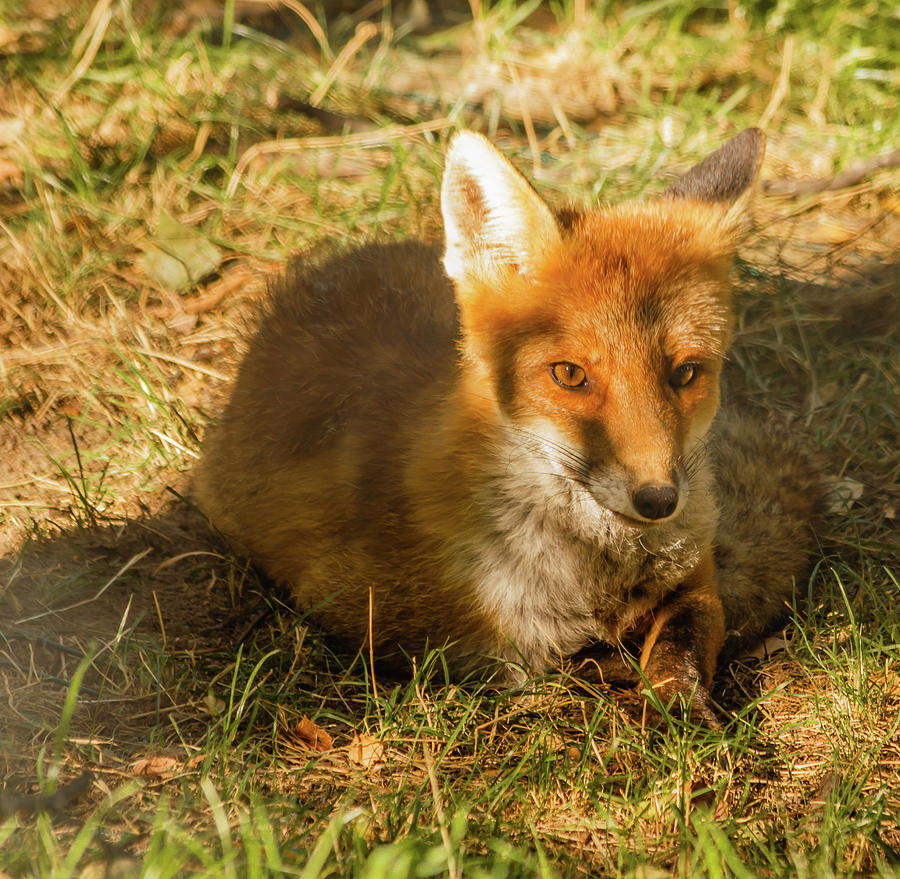 Animal Photograph - Close-up Of A Fox Resting In A Park by Susanna Mattioda