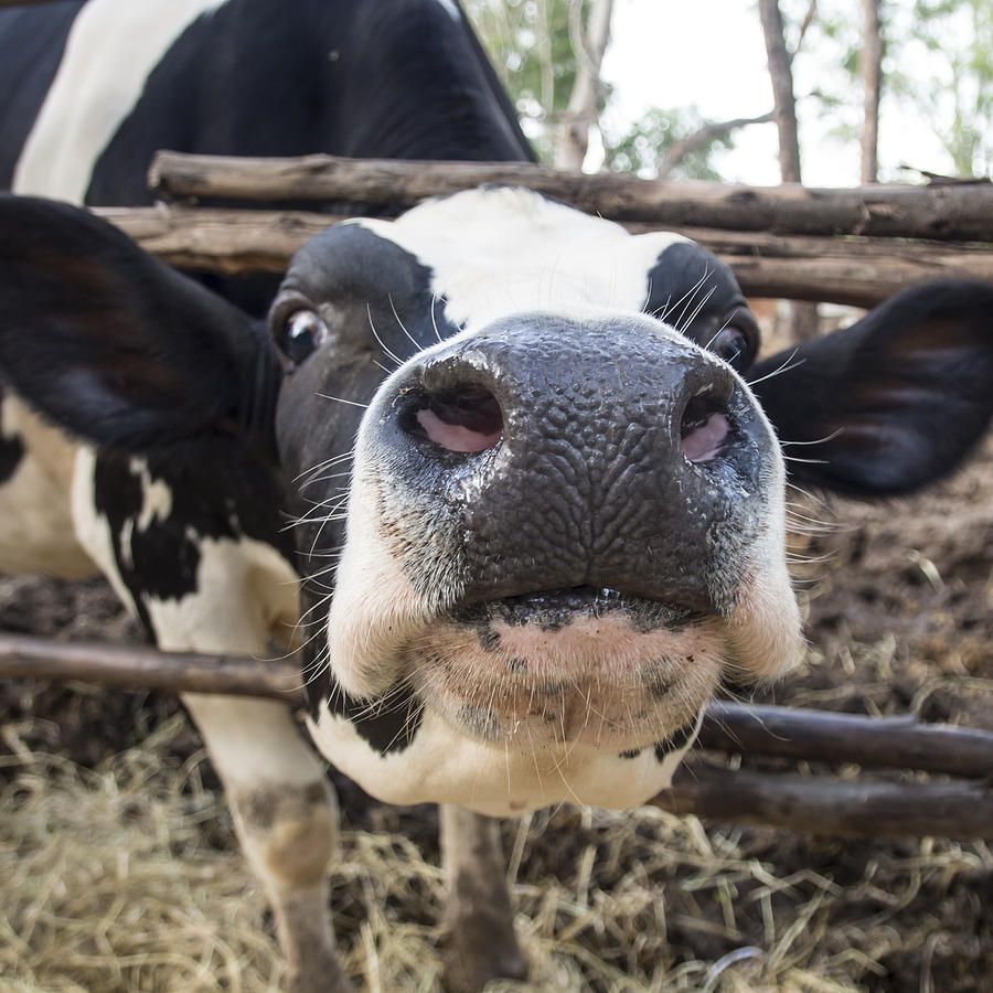 close up of a funny black and white cow photograph by maratsavalai