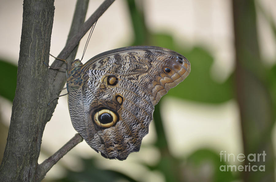 Blue Morpho Photograph - Close Up Of A Pretty Brown Morpho Butterfly  by DejaVu Designs