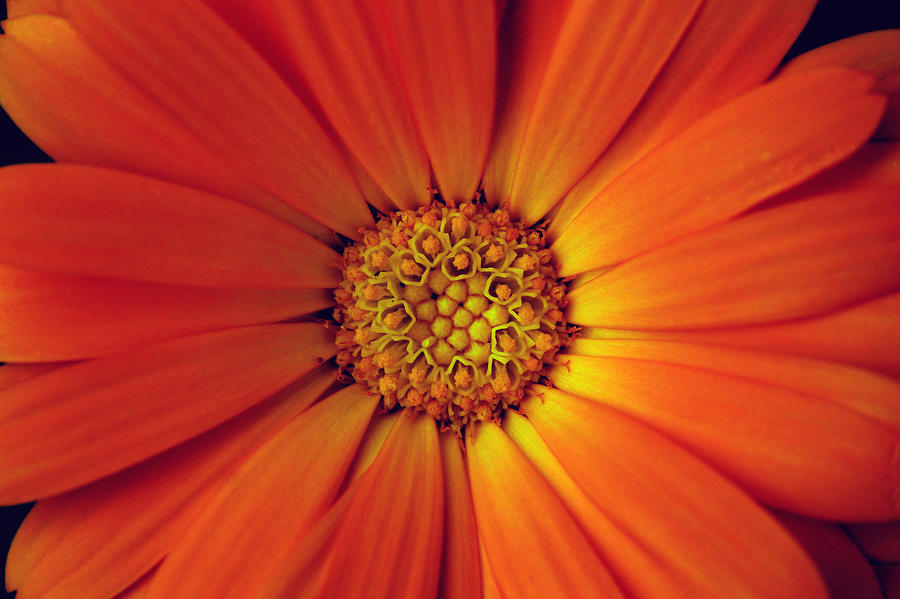 Plant Photograph - Close Up Of An Orange Daisy by PIXELS  XPOSED Ralph A Ledergerber Photography