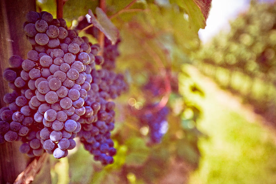Horizontal Photograph - Close Up Of Grapes by Boston Thek Imagery