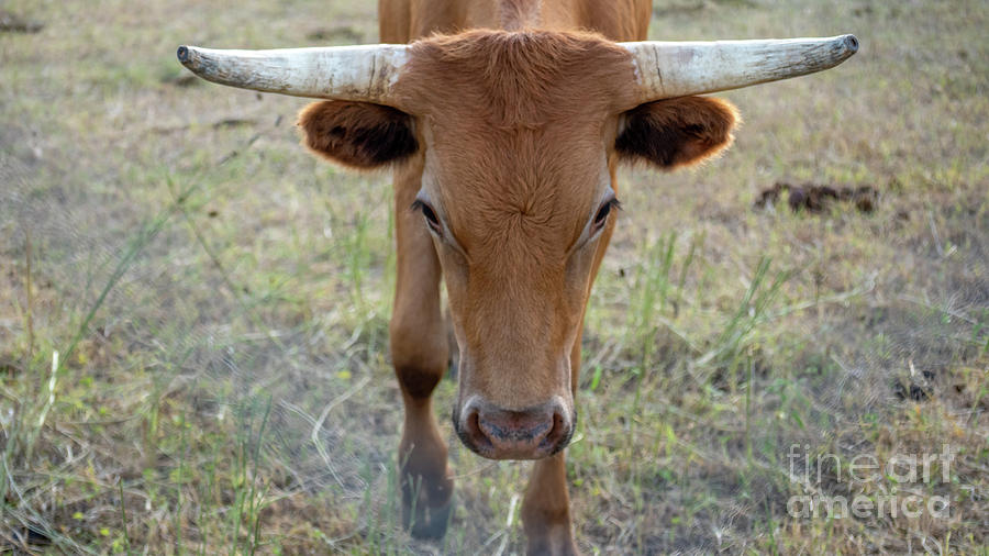 America Photograph - Close Up Of Longhorn Head Through Fence by PorqueNo Studios