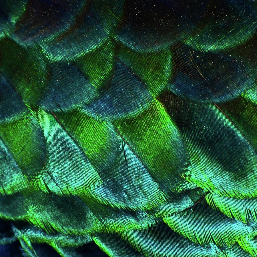 Square Photograph - Close Up Of Peacock Feathers by MadmàT